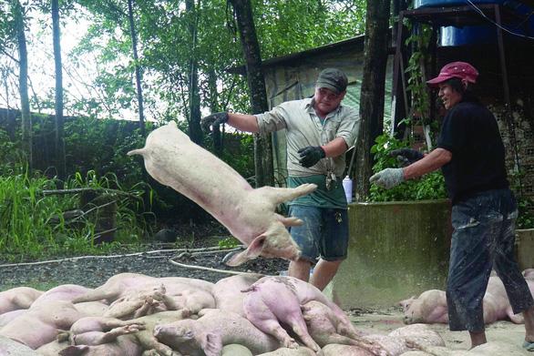 3,3 triệu con heo bị tiêu hủy, ngành thức ăn chăn nuôi cũng mệt mỏi - Ảnh 1.