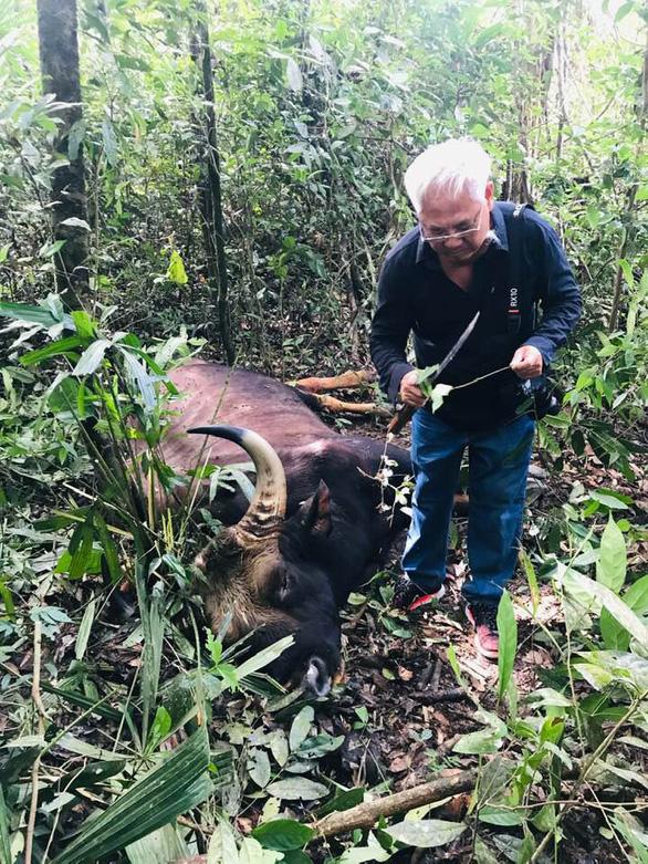 Bò tót khoảng 800kg chết già trong khu bảo tồn - Ảnh 1.