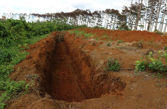 Hàng trăm cây thông tại Lâm Đồng lại bị đầu độc tinh vi - Ảnh 4.