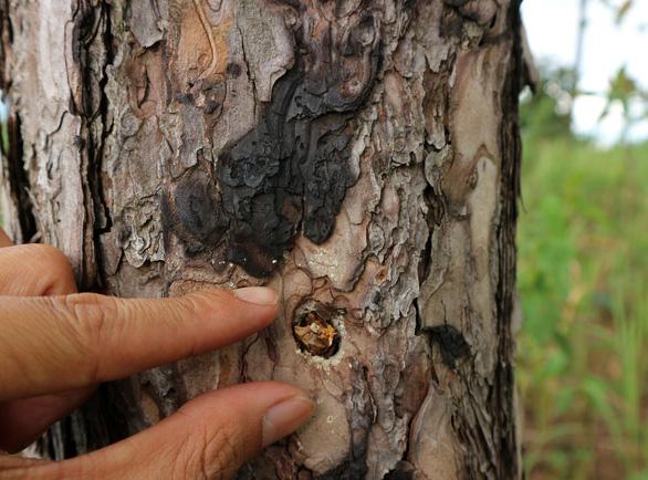 Hàng trăm cây thông tại Lâm Đồng lại bị đầu độc tinh vi - Ảnh 1.