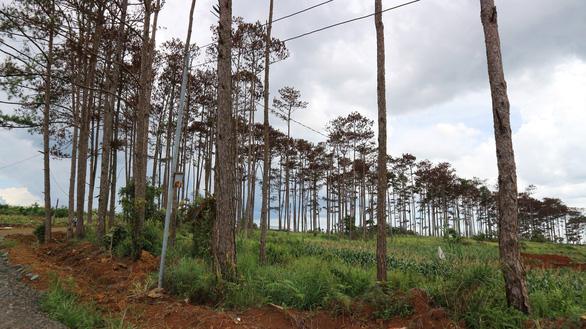Hàng trăm cây thông tại Lâm Đồng lại bị đầu độc tinh vi - Ảnh 3.