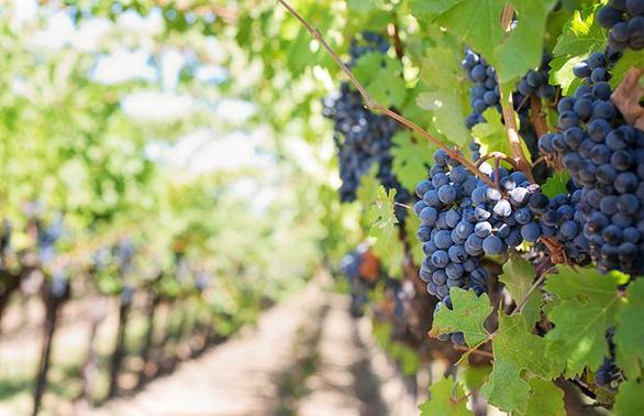 Khám phá con đường rượu vang Toscany - miền trung nước Ý - Ảnh 3.