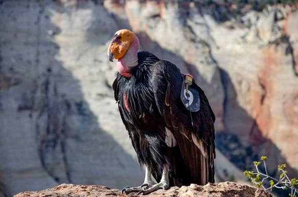 Loài chim lớn nhất Bắc Mỹ có lúc chỉ còn 22 con hồi sinh kỳ diệu - Ảnh 1.