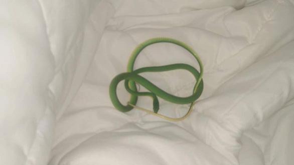 Thức dậy trong khách sạn, thấy rắn lục quấn trên tay - Ảnh 1.