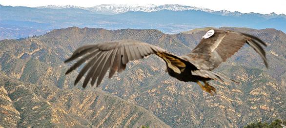 Loài chim lớn nhất Bắc Mỹ có lúc chỉ còn 22 con hồi sinh kỳ diệu - Ảnh 4.