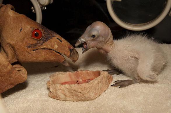 Loài chim lớn nhất Bắc Mỹ có lúc chỉ còn 22 con hồi sinh kỳ diệu - Ảnh 2.