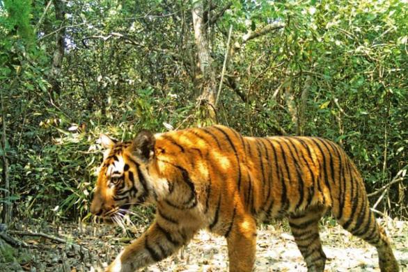 Bangladesh lo tìm chồng cho hổ Bengal - Ảnh 1.