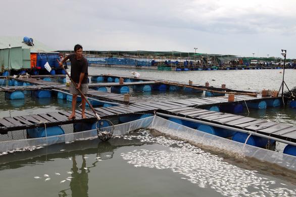 Hai ba năm qua sống khỏe, cá bè Long Sơn lại bất ngờ chết hàng loạt - Ảnh 1.