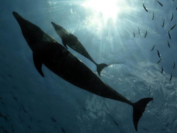 Kinh ngạc cá heo nhận nuôi cá voi - Ảnh 1.