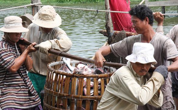 Người nuôi cá tra cũng hóng tỉ giá và thương chiến Mỹ - Trung - Ảnh 1.