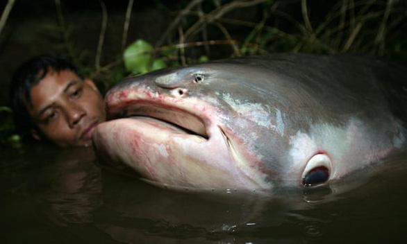 Con người sẽ không còn cơ hội thấy cá khổng lồ trên sông Mekong - Ảnh 1.