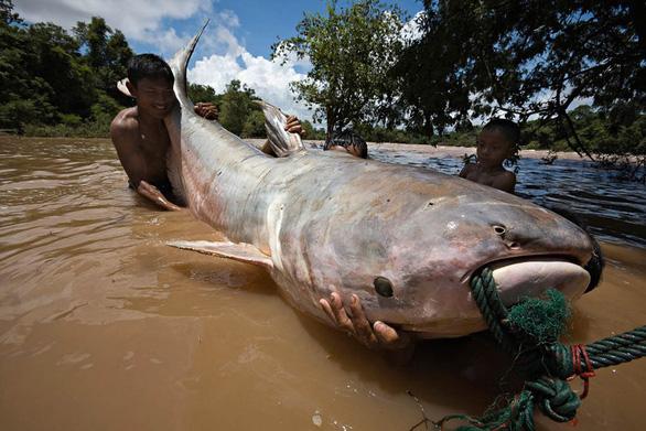 Con người sẽ không còn cơ hội thấy cá khổng lồ trên sông Mekong - Ảnh 3.