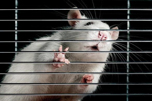 Nhật Bản thành công trong chọn giới tính cho chuột thụ tinh nhân tạo - Ảnh 1.