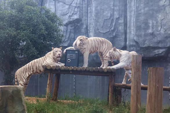 Sở thú ra mắt dịch vụ giữ giấy đăng ký kết hôn trong chuồng cọp - Ảnh 2.