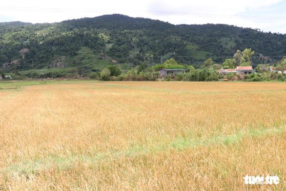 Nghịch lý ở Đắk Lắk: Hơn 1.000ha cây trồng chết khát trong khi nhiều khu vực ngập lụt - Ảnh 1.
