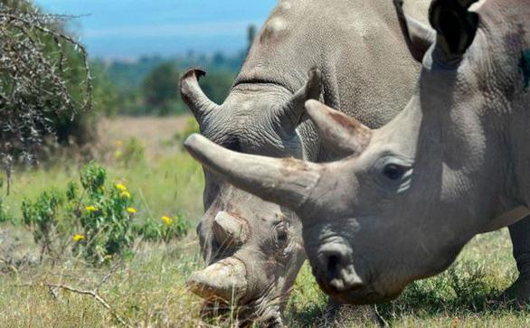 Lấy trứng 2 con tê giác trắng phương Bắc cuối cùng còn sống - Ảnh 1.