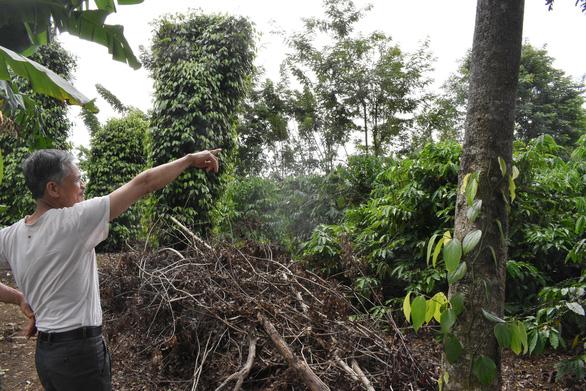Cựu binh trồng cà phê nuôi gia đình dưới góc nhìn của người nước ngoài - Ảnh 1.