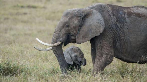Cấm bán voi châu Phi sang các nước khác - Ảnh 1.