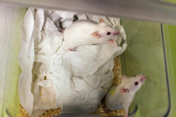 Các nhà khoa học Nhật Bản sẽ thử nghiệm nuôi cấy cơ quan người trên động vật - Ảnh 1.
