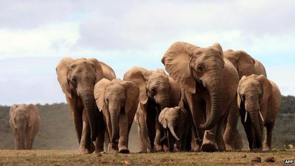 CITES bảo vệ quyền của loài voi hoang dã châu Phi - Ảnh 1.