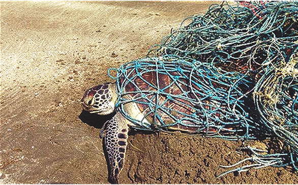 Rùa biển bị vướng túi nilông gì? - Ảnh 1.