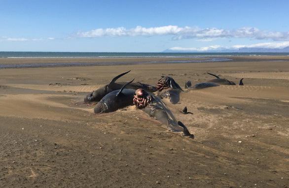 Thêm đàn cá voi mắc cạn, chết bí ẩn ở Iceland chỉ trong nửa tháng - Ảnh 2.