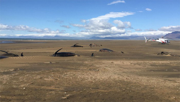 Thêm đàn cá voi mắc cạn, chết bí ẩn ở Iceland chỉ trong nửa tháng - Ảnh 1.