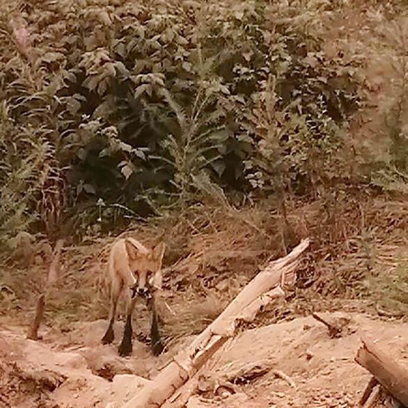 Cháy rừng, cáo đói chấp nhận gặm sôcôla - Ảnh 9.