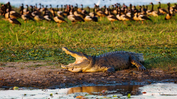 Cá sấu đuổi theo giành miếng ăn với người câu cá - Ảnh 2.