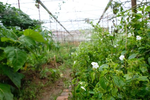 Người Đà Lạt dỡ nhà kính để trồng vườn truyền thống - Ảnh 1.