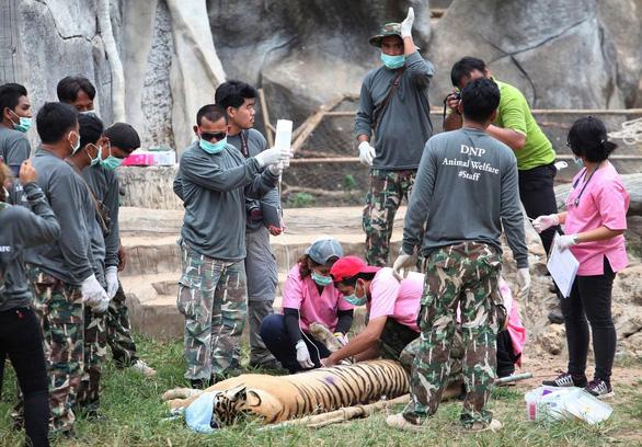 86 con hổ được cứu khỏi một ngôi chùa ở Thái Lan đã chết - Ảnh 1.
