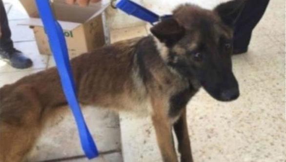 Mỹ phát hiện chó đặc nhiệm của Mỹ gửi Jordan bị bỏ đói trơ xương - Ảnh 1.