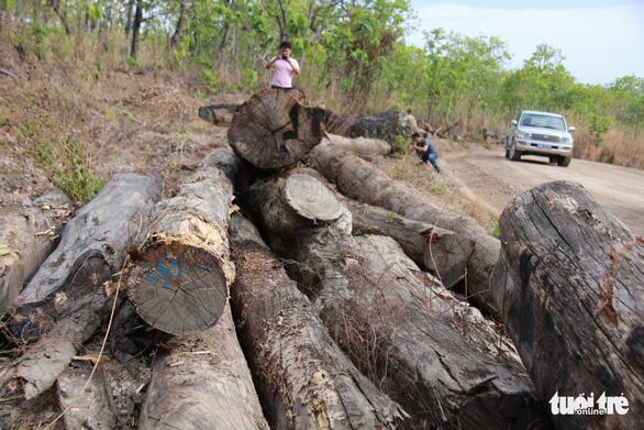 Phạt trùm gỗ lậu Phượng 'râu' 8 năm 6 tháng tù - Ảnh 2.