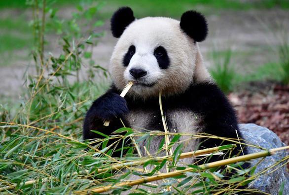 Vườn thú Berlin hân hoan khi gấu trúc sinh đôi - Ảnh 1.