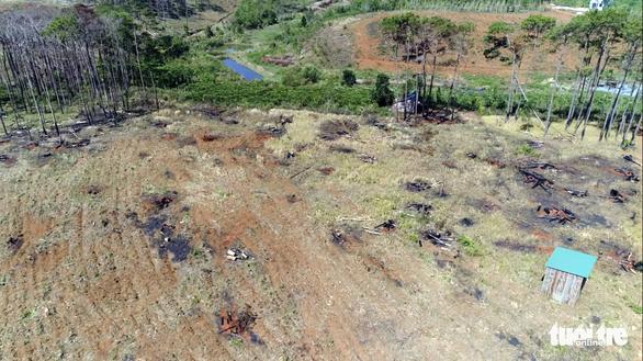 Lại hàng ngàn cây thông bị đổ hóa chất đầu độc - Ảnh 5.