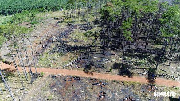 Lại hàng ngàn cây thông bị đổ hóa chất đầu độc - Ảnh 1.