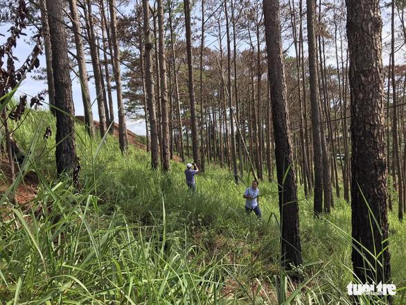 Lại hàng ngàn cây thông bị đổ hóa chất đầu độc - Ảnh 3.