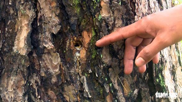 Lại hàng ngàn cây thông bị đổ hóa chất đầu độc - Ảnh 2.