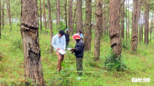 Lại hàng ngàn cây thông bị đổ hóa chất đầu độc - Ảnh 4.