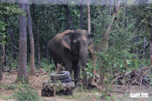 Đề xuất gắn chíp định vị cho voi hoang dã - Ảnh 4.