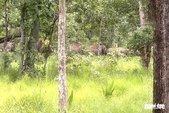 Đề xuất gắn chíp định vị cho voi hoang dã - Ảnh 2.