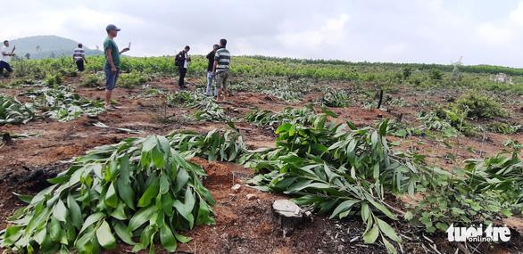 Hàng nghìn cây keo bị nhổ trơ gốc, chính quyền xã nói do nhầm tên - Ảnh 1.