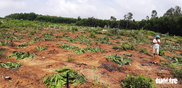 Hàng nghìn cây keo bị nhổ trơ gốc, chính quyền xã nói do nhầm tên - Ảnh 4.