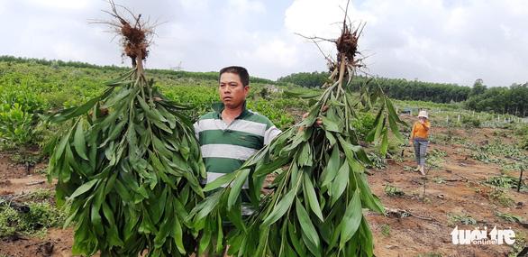 Hàng nghìn cây keo bị nhổ trơ gốc, chính quyền xã nói do nhầm tên - Ảnh 3.