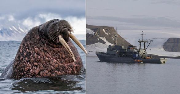 Tàu Hải quân Nga ở Bắc Cực bị hải mã đâm chìm? - Ảnh 1.