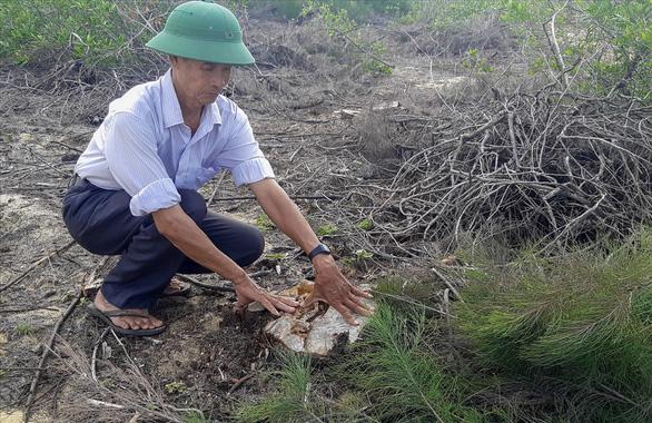 140ha rừng dương che chắn thiên tai giao cho doanh nghiệp bị phá trắng - Ảnh 1.