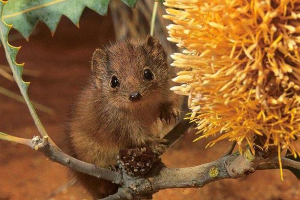 Chuột túi nhỏ kaluta dành tới 14 tiếng cho một lần giao phối - Ảnh 1.