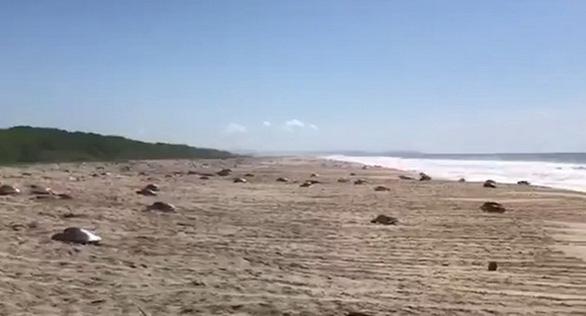 Hàng trăm con rùa xanh quý hiếm chết vì thủy triều đỏ - Ảnh 1.