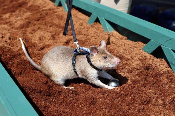 Những 'đội quân chuột có một không hai - Ảnh 3.