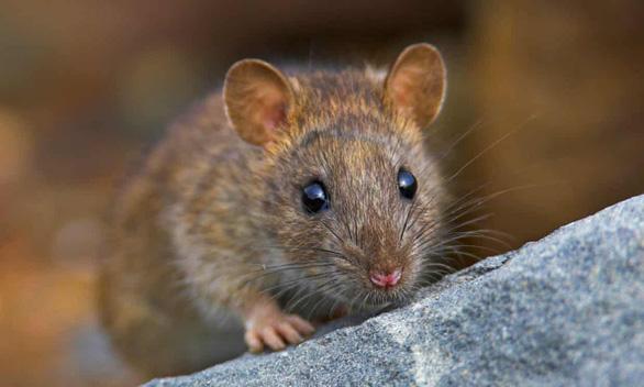 Nơi duy nhất trên thế giới 'quét sạch' loài chuột - Ảnh 1.